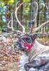 Reindeer - C1-0246 - 72 ppi
