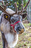 Reindeer - C1-0229 - 72 ppi