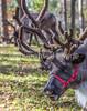 Reindeer - C1-0119 - 72 ppi-3