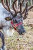 Reindeer - C1-0219 - 72 ppi