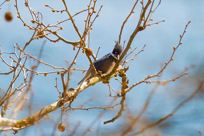 Wild Eyed Kingfisher