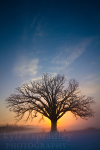 """The McBaine Bur Oak is a national champion tree located in the Missouri River bottomlands outside of Columbia. The more than 350 year-old oak is simply known to many Mid-Missourians as """"The Big Tree.""""   Photo by Kyle Spradley 