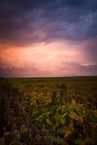 Soybean Sunset