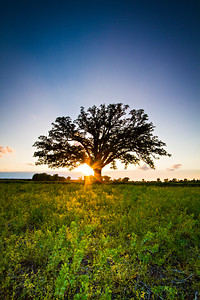 "The McBaine Bur Oak is a national champion tree located in the Missouri River bottomlands outside of Columbia. The more than 350 year-old oak is simply known to many Mid-Missourians as ""The Big Tree.""   Photo by Kyle Spradley 