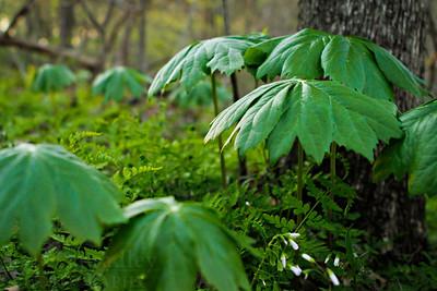 Mayapples in a Missouri forest.  Photo by Kyle Spradley | www.kspradleyphoto.com