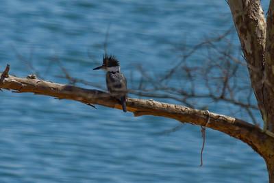 Kingfisher at Table Rock Lake