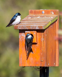Swallows Nesting in MO
