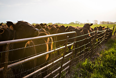 Cattle at Thompson Research Center in Spickard.  Photo by Kyle Spradley