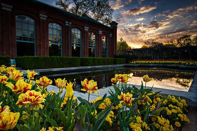 Linnean House Tulips