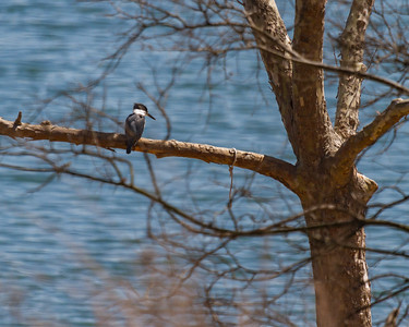 Kingfisher Hunting Table Rock Lake in Spring