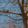 Kingfisher Hunting Table Rock Lake in Spring