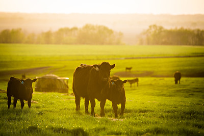 The Thompson Reserach Center is owned and operated by the MU College of Agriculture, Food and Natural Resources. The center near Spickard, MO is home to beef cattle research and manages a herd of several cattle.  Photo by Kyle Spradley