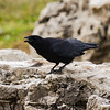 Crow Raising a Rucus