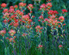 MNB-032: Indian Paintbrush