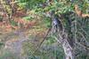 Belted Kingfisher <br /> Maramec Springs Park