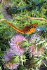 Great Spangled Fritillary<br /> Millstream Gardens Conservation Area<br /> Tiemann Shut-ins