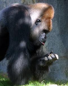 gorilla food2