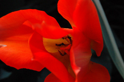Tulip On Ashmont Hill.