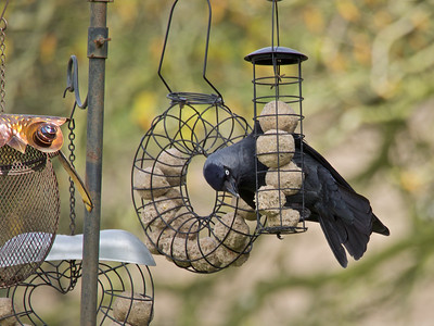 Jackdaw on the feeder