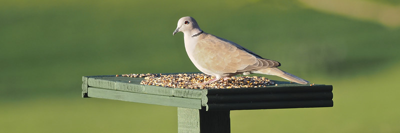 Dove on the table