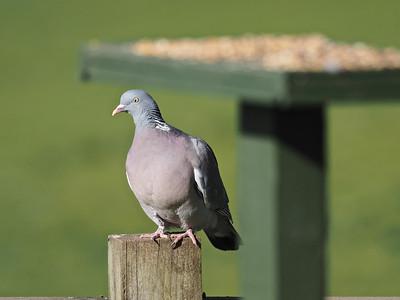 Wood Pigeon waiting