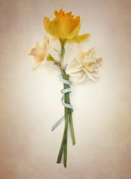 Daffodils / Narcissus