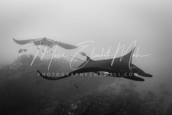 Giant Pacific Mantas