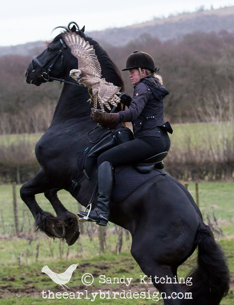 Friesian stallion Droomwals & falcon Heidi Feb 2015