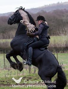 Friesian stallion Droomwals & falcon Heidi Feb 2015