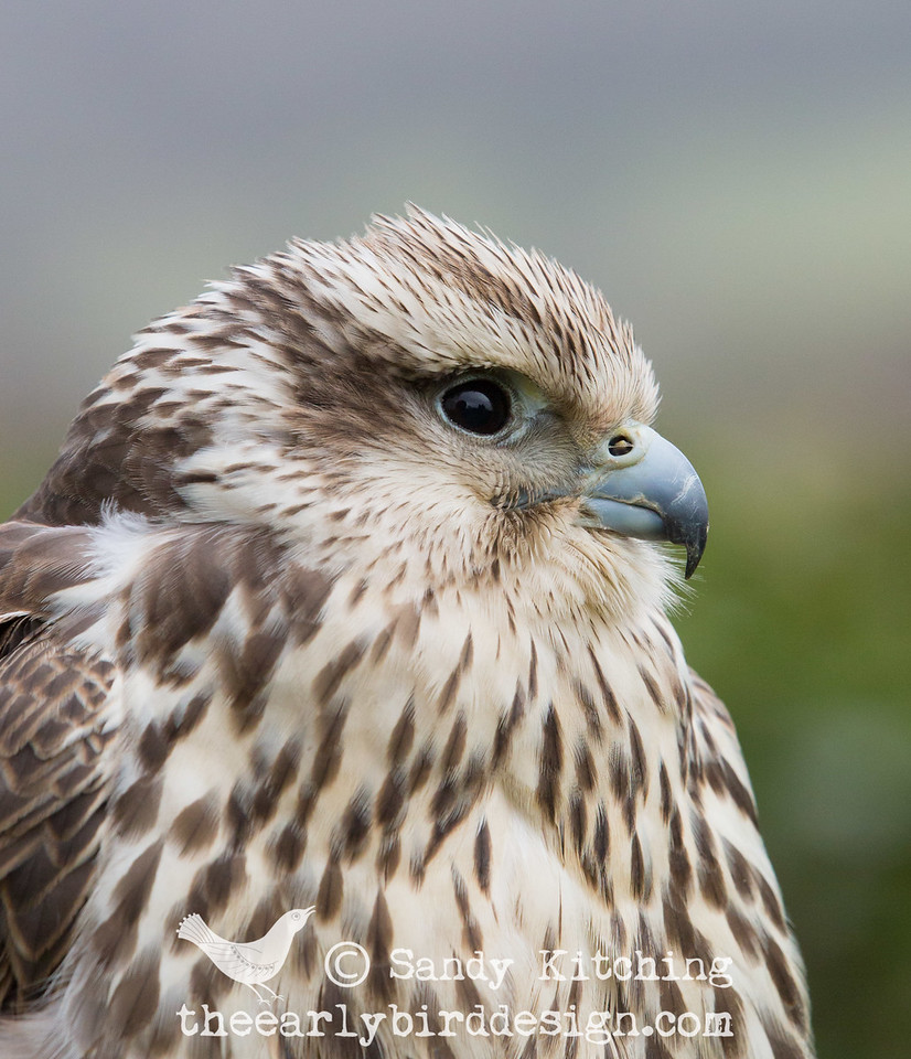 Heidi the falcon Feb 2015