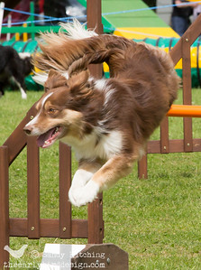 Cadno at Lune Valley Agility June 2014