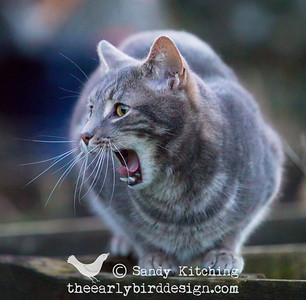 Cecil yawns  2015