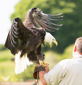 Eagle display Bassenthwaite 2014