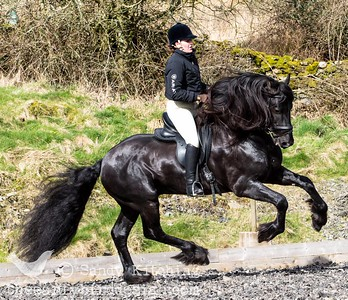 Droomwals Friesian Stallion 2014