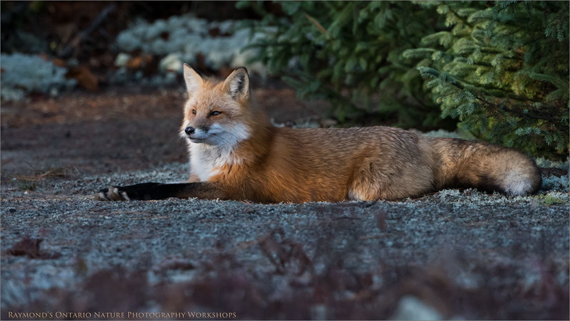 Red Fox<br /> Ontario Wildlife Workshops!<br /> ray@raymondbarlow.com