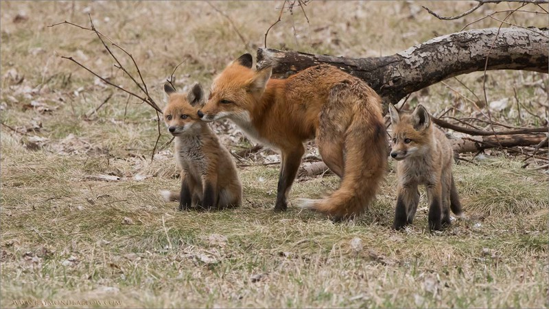 Fox Family<br /> Raymond's Ontario Nature Photography Tours<br /> <br /> ray@raymondbarlow.com<br /> <br /> thanks to Nature for providing such amazing views!<br /> Nikon D810 ,Nikkor 200-400mm f/4G ED-IF AF-S VR<br /> 1/500s f/9.0 at 400.0mm iso1000
