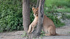 Young Lion Wedged!