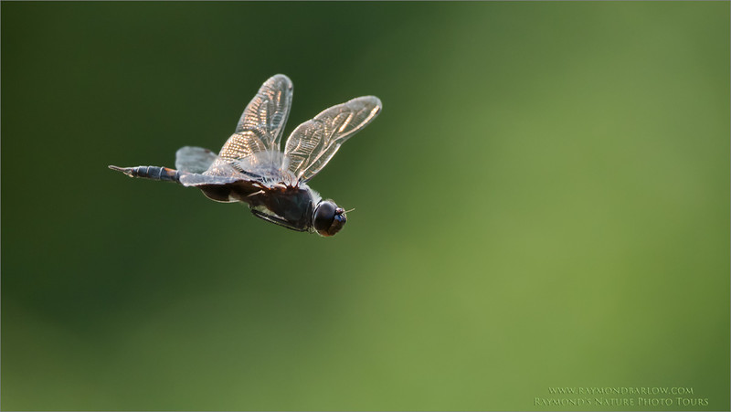 Dragonfly in Flight<br /> Raymond's Ontario Nature Photography Tours