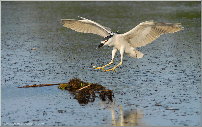 Black-crowned Night Heron in Flight