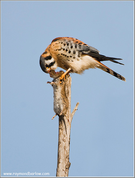 Kestrel with a meal!