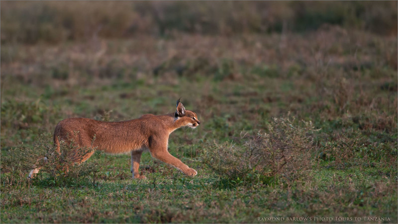 Caracal in the Serengeti - Tanzania<br /> Raymond Barlow Photo Tours to Tanzania Wildlife and Nature<br /> <br /> ray@raymondbarlow.com<br /> Nikon D300 ,Nikkor 200-400mm f/4G ED-IF AF-S VR<br /> 1/250s f/4.0 at 400.0mm iso320