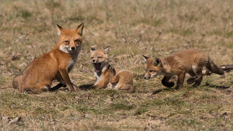 Fox Family 2<br /> Raymond's Ontario Photography Tours<br /> Nikon D810 ,Nikkor 200-400mm f/4G ED-IF AF-S VR<br /> 1/1000s f/10.0 at 400.0mm iso640