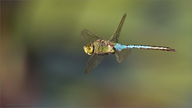 "Dragonfly in Flight<br /> RJB Ontario Photography Tours<br /> <br />  <a href=""http://www.raymondbarlow.com"">http://www.raymondbarlow.com</a><br /> 1/8000s f/5.0 at 400.0mm iso2000"