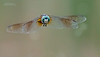 A 3 shot series of this dragonfly and its food, as the white circles in the background are gnats.<br /> <br /> Dragonfly 2