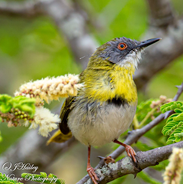 Yellow-breasted Apalis, Apalis flavida