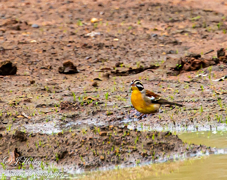 Golden-breasted Bunting, Emberiza flavivetris