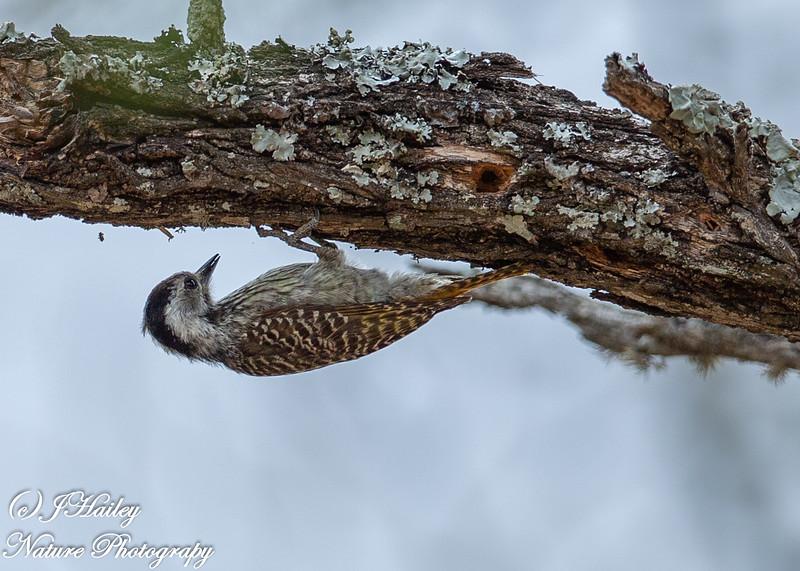 Cardinal Woodpecker, Dendropicos fuscescens