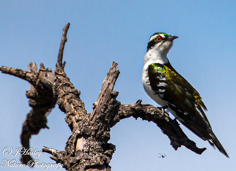 Dideric Cuckoo, Chrysococcyx capruius