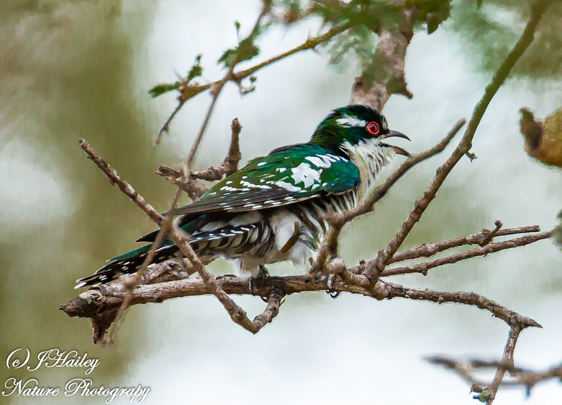 Dideric Cuckoo, Chrysocaccyx caprius