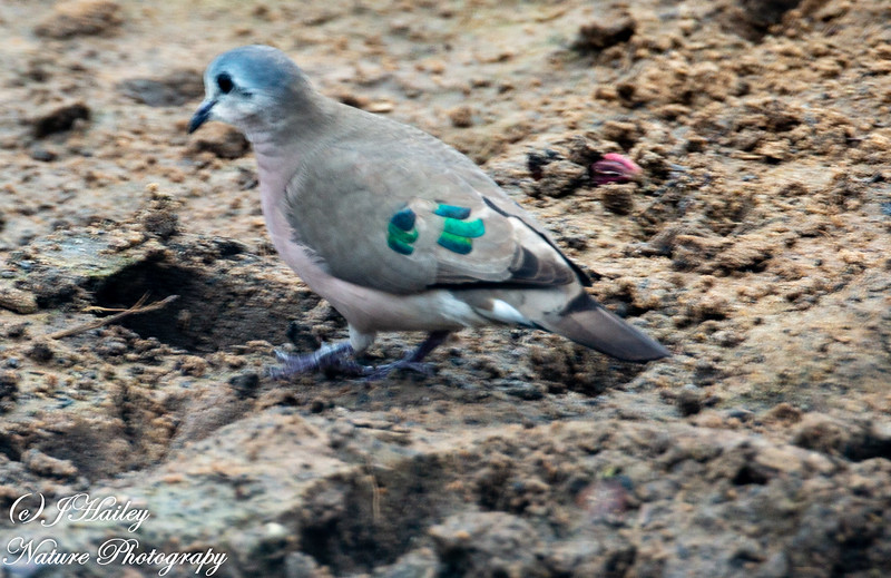 Emerald-Spotted Wood Dove, Turturchalccospilos